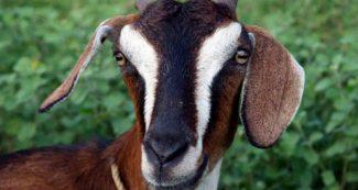 बकरी की मौत से लगा कंपनी को 2 करोड़ का झटका, सरकार के भी लाखों डूबे, जानें क्या है मामला