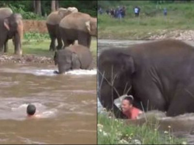 पानी में डूब रहा था शख्स, हाथी के बच्चे ने कूद कर ऐसे बचाई जान, वीडियो वायरल