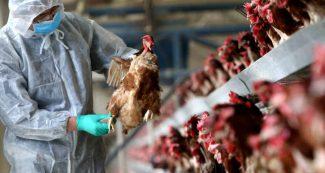 फैल रहा है बर्ड फ्लू, मुर्गे और अंडों की बिक्री पर यहां रोक, ऐसे लक्षण दिखें तो हो जाएं सावधान