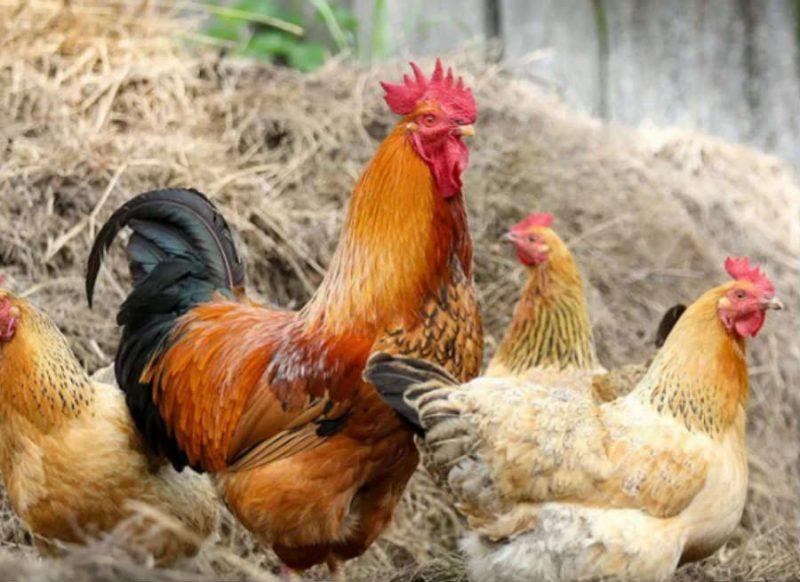 आलू के दाम में मिल रहा चिकन, 50 रुपए किलो पहुंचा भाव, चेक करें कहां कितना हुआ सस्ता